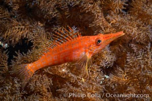 Longnose Hawkfish on Black Coral, Oxycirrhites typus, Oxycirrhites typus, Antipatharia, Isla San Diego, Baja California, Mexico