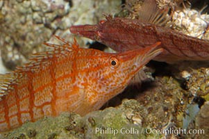 Image 08815, Longnose hawkfish., Oxycirrhites typus, Phillip Colla, all rights reserved worldwide. Keywords: animal, fish, hawkfish, indo-pacific, longnose hawkfish, longsnout hawkfish, marine fish, oxycirrhites typus, underwater.