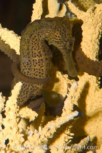 Image 07909, Longsnout seahorse., Hippocampus reidi, Phillip Colla, all rights reserved worldwide. Keywords: animal, fish, hippocampus reidi, indo-pacific, longsnout seahorse, marine fish, seahorse, underwater.