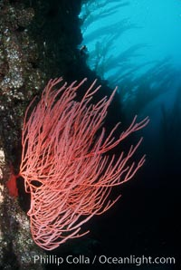 Red gorgonian. San Clemente Island, California, USA, Lophogorgia chilensis, natural history stock photograph, photo id 02534