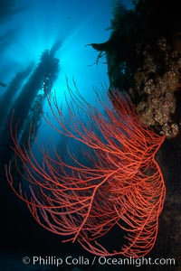 Red gorgonian on rocky reef, below kelp forest, underwater.  The red gorgonian is a filter-feeding temperate colonial species that lives on the rocky bottom at depths between 50 to 200 feet deep. Gorgonians are oriented at right angles to prevailing water currents to capture plankton drifting by. San Clemente Island, California, USA, Lophogorgia chilensis, Macrocystis pyrifera, natural history stock photograph, photo id 23444
