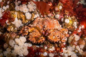 Lopholithodes mandtii Puget Sound King Crab amid a field of plumose anemones and red kelp, Queen Charlotte Strait, Canada, Lopholithodes mandtii
