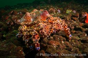 Lopholithodes mandtii, Puget Sound King Crab, Hornby Island, Canada, Lopholithodes mandtii