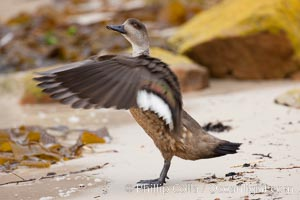 Image 23763, Patagonian crested duck, spreading its wings.  The crested dusk inhabits coastal regions where it forages for invertebrates and marine algae.  The male and female are similar in appearance. New Island, Falkland Islands, United Kingdom, Lophonetta specularioides, Phillip Colla, all rights reserved worldwide. Keywords: anatidae, animal, animalia, anseriformes, atlantic, aves, bird, chordata, crested duck, duck, falkland islands, falklands, island, islas malvinas, lophonetta, lophonetta specularioides, malvinas, new island, oceans, outdoors, outside, patagonian crested duck, south atlantic, southern ocean, specularioides, united kingdom, vertebrata, vertebrate, wildlife.