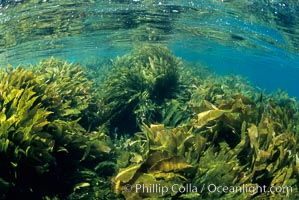 Lowlying palm kelp, San Clemente Island