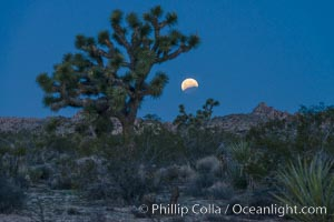 Lunar Eclipse Setting over Joshua Tree National Park, April 4 2015. Joshua Tree National Park, California, USA, natural history stock photograph, photo id 30719