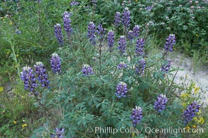 Lupine (species unidentified) blooms in spring. Rancho Santa Fe, California, USA, Lupinus, natural history stock photograph, photo id 11398