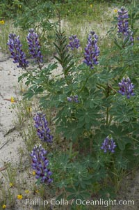 Image 11407, Lupine (species unidentified) blooms in spring. Rancho Santa Fe, California, USA, Lupinus sp., Phillip Colla, all rights reserved worldwide. Keywords: california, coastal wildflower, lupine, lupinus sp, plant, rancho santa fe, usa, wildflower.