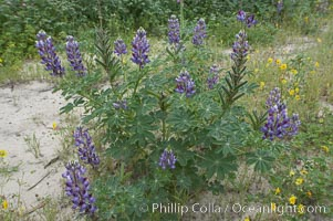 Lupine (species unidentified) blooms in spring, Lupinus, Rancho Santa Fe, California