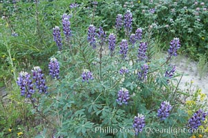 Image 11397, Lupine (species unidentified) blooms in spring. Rancho Santa Fe, California, USA, Lupinus sp., Phillip Colla, all rights reserved worldwide. Keywords: california, coastal wildflower, lupine, lupinus sp, plant, rancho santa fe, usa, wildflower.