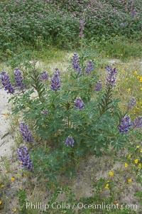Lupine (species unidentified) blooms in spring, Lupinus, Rancho Santa Fe, California
