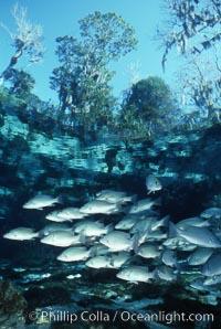 Mangrove snapper. Three Sisters Springs, Crystal River, Florida, USA, Lutjanus griseus, natural history stock photograph, photo id 05156