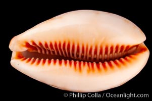 Lynx Cowrie, Cypraea lynx vanelli, natural history stock photograph, photo id 08032