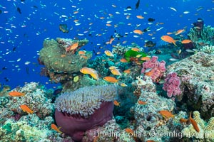 Lyretail Anthias (Pseudanthias squamipinnis). Pink Anemonefish (Amphiprion perideraion) and Magnificent Anemone (Heteractis sp) over South Pacific Coral Reef. Namena Marine Reserve, Namena Island, Fiji, Pseudanthias, Amphiprion perideraion, natural history stock photograph, photo id 31419
