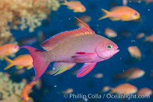 Lyretail Anthias foraging for bits of food passing by in ocean currents, Pseudanthias squamipinnis, Fiji, Pseudanthias