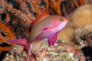 Lyretail Anthias, Pseudanthias squamipinnis, Fiji, Pseudanthias, Namena Marine Reserve, Namena Island
