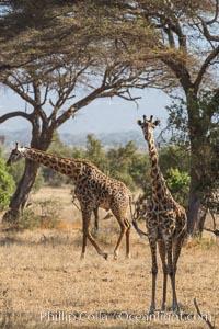 Maasai Giraffe, Amboseli National Park. Kenya, Giraffa camelopardalis tippelskirchi, natural history stock photograph, photo id 29514