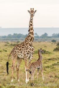 Maasai Giraffe, Maasai Mara National Reserve, Giraffa camelopardalis tippelskirchi