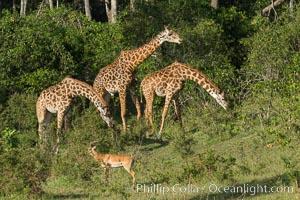 Maasai Giraffe, Maasai Mara National Reserve. Maasai Mara National Reserve, Kenya, Giraffa camelopardalis tippelskirchi, natural history stock photograph, photo id 29958