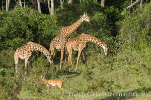 Maasai Giraffe, Maasai Mara National Reserve. Maasai Mara National Reserve, Kenya, Giraffa camelopardalis tippelskirchi, natural history stock photograph, photo id 29959