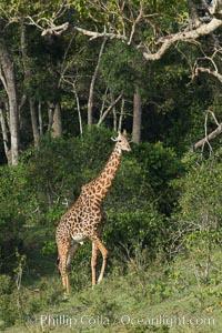 Maasai Giraffe, Maasai Mara National Reserve. Kenya, Giraffa camelopardalis tippelskirchi, natural history stock photograph, photo id 29961