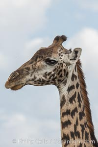 Maasai Giraffe, Olare Orok Conservancy, Giraffa camelopardalis tippelskirchi