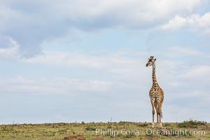 Maasai Giraffe, Olare Orok Conservancy. Olare Orok Conservancy, Kenya, Giraffa camelopardalis tippelskirchi, natural history stock photograph, photo id 29976