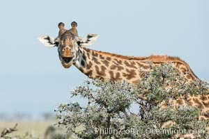 Image 30001, Maasai Giraffe, Olare Orok Conservancy. Olare Orok Conservancy, Kenya, Giraffa camelopardalis tippelskirchi, Phillip Colla, all rights reserved worldwide. Keywords: africa, animalia, artiodactyla, chordata, giraffa, giraffa camelopardalis, giraffa camelopardalis tippelskirchi, giraffidae, kenya, kilimanjaro giraffe, maasai giraffe, maasai mara, mammal, mammalia, natural, nature, olare orok conservancy, outdoors, outside, safari, wild, wildlife.