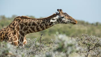 Maasai Giraffe, Olare Orok Conservancy. Olare Orok Conservancy, Kenya, Giraffa camelopardalis tippelskirchi, natural history stock photograph, photo id 30002