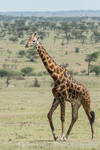 Maasai Giraffe, Olare Orok Conservancy. Olare Orok Conservancy, Kenya, Giraffa camelopardalis tippelskirchi, natural history stock photograph, photo id 30011