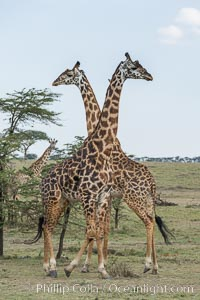 Image 30068, Maasai Giraffe, Olare Orok Conservancy. Olare Orok Conservancy, Kenya, Giraffa camelopardalis tippelskirchi