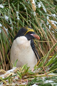 Macaroni penguin, amid tall tussock grass, Cooper Bay, South Georgia Island, Eudyptes chrysolophus