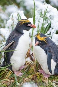 Macaroni penguin, amid tall tussock grass, Cooper Bay, South Georgia Island, Eudyptes chrysolophus
