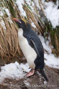 Macaroni penguin, amid tall tussock grass, Cooper Bay, South Georgia Island. Cooper Bay, South Georgia Island, Eudyptes chrysolophus, natural history stock photograph, photo id 24738