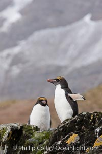 "Macaroni penguins, on the rocky shoreline of Hercules Bay, South Georgia Island.  One of the crested penguin species, the macaroni penguin bears a distinctive yellow crest on its head.  They grow to be about 12 lb and 28"" high.  Macaroni penguins eat primarily krill and other crustaceans, small fishes and cephalopods, Eudyptes chrysolophus"