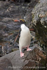 "Macaroni penguin, on the rocky shoreline of Hercules Bay, South Georgia Island.  One of the crested penguin species, the macaroni penguin bears a distinctive yellow crest on its head.  They grow to be about 12 lb and 28"" high.  Macaroni penguins eat primarily krill and other crustaceans, small fishes and cephalopods, Eudyptes chrysolophus"