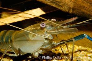 Longarm prawn, a freshwater crustacean, Macrobrachium