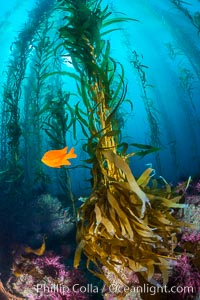 Kelp holdfast attaches the plant to the rocky reef on the oceans bottom. Kelp blades are visible above the holdfast, swaying in the current. Catalina Island, California, USA, natural history stock photograph, photo id 34212