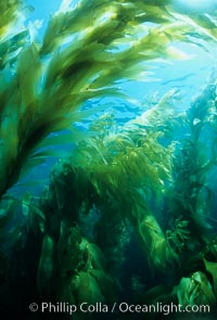 Kelp forest. San Clemente Island, California, USA, Macrocystis pyrifera, natural history stock photograph, photo id 02409