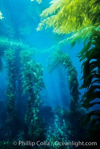 Kelp bed. Giant macrocystis kelp is anchored on the ocean floor and grows to reach the ocean surface, Macrocystis pyrifera, San Clemente Island