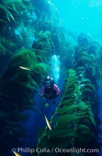 Diver amid kelp forest, Macrocystis pyrifera, San Clemente Island