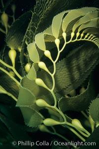 Kelp frond showing pneumatocysts (air bladders), Macrocystis pyrifera, San Clemente Island