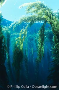 Kelp forest. San Clemente Island, California, USA, Macrocystis pyrifera, natural history stock photograph, photo id 03418