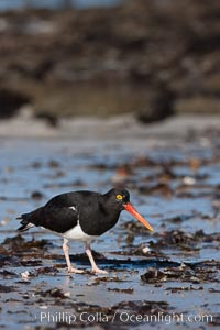 Magellanic oystercatcher, foraging for food on a beach, Haematopus leucopodus, Carcass Island