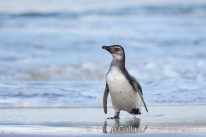 """Magellanic penguins, coming ashore on a sandy beach.  Magellanic penguins can grow to 30"""" tall, 14 lbs and live over 25 years.  They feed in the water, preying on cuttlefish, sardines, squid, krill, and other crustaceans. New Island, Falkland Islands, United Kingdom, Spheniscus magellanicus, natural history stock photograph, photo id 23929"""