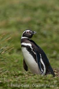 Magellanic penguin, at its burrow in short grass, in the interior of Carcass Island, Spheniscus magellanicus