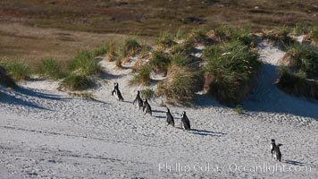 Magellanic penguins walk across sandy beach, heading over tussock grass to the interior of Carcass Island to their underground burrows