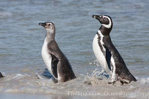 Magellanic penguins, adult (right) and juvenile, coming ashore after foraging in the ocean for food, Spheniscus magellanicus, Carcass Island