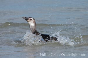 Magellanic penguin, juvenile, coming ashore on a sand beach after foraging at sea. Carcass Island, Falkland Islands, United Kingdom, Spheniscus magellanicus, natural history stock photograph, photo id 24035
