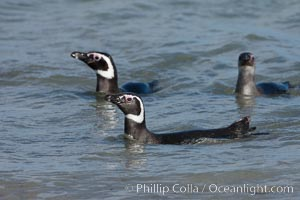 Magellanic penguins, coming ashore after foraging in the ocean for food, Spheniscus magellanicus, Carcass Island
